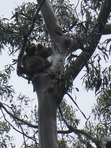 Mom and Baby Koala