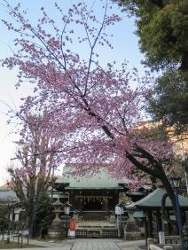 Ueno cherry blossoms