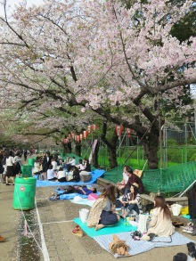 Picnic under the Ueno cherry blossoms