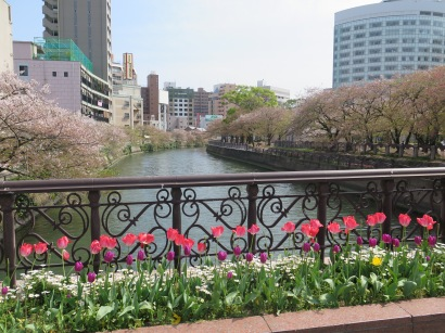 Tulips and cherry blossoms on the canal